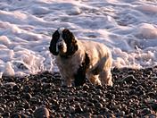 Tiggy paddling at Budleigh beach