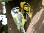 Blue Tit feeding it,s youngster.