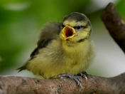Blue Tit Fledglings