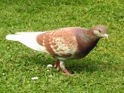 Brown & white pigeon