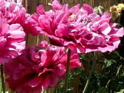Unusual poppies