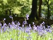 Bluebells by Anna Wickins