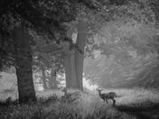 Fallow Deer in Hatfield Forest