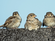 3 Wise sparrows