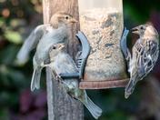 Scrapping Sparrows