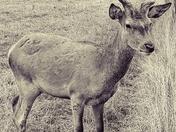 Deer in diguise