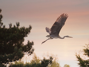Heron in a hurry