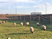 Grazing Sheep by Solar Park and M25