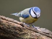 a stunning little blue tit