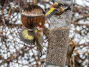 Fighting Finches