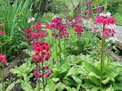 Candelabra Primulas and Rhododendrons at Fairhaven Woodland and Water Garden