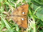 Vaporer moth