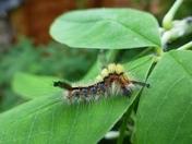 Vaporer moth caterpillar