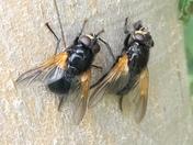 Noonday flies