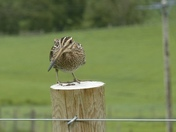Snipe on a post