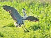 heron ; nwt cley marsh.