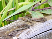 Last of the Summer Sun: Sunbathing Common lizards