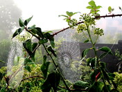Spiders' webs in the mist