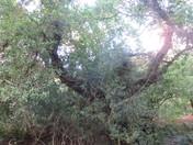 'Heart-shaped' tree at Holyford Woods