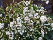 Snowberry bush