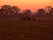 Deers at Dawn.