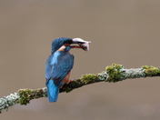 Kingfisher Shots