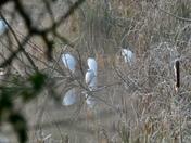 Egrets meeting!