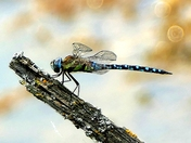 Dragonfly on the branch.( challenge)