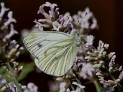 Large White butterfly.(challenge)