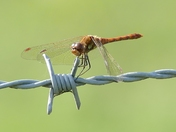 Dragonfly on Barbed wire.(challenge)