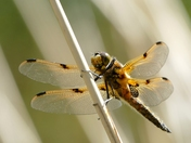 Four spot Chaser Dragonfly. (challenge)