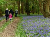 Pathway through Bluebell Woods,Haughley Park.(challenge)