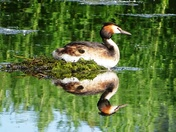 Great crested grebe in Lackford lake.(challenge)