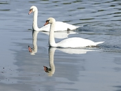 Swans in double reflection.(challenge)