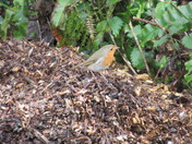 A robin on a wood chipping pile at Honiton Bottom Nature Reserve