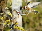 Goldfinch  comes in to land on the feeder.(challenge)