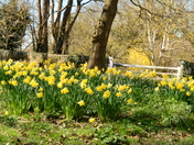 Daffodils at Thriplow