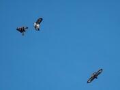 a flock of buzzards