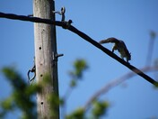 Funambulist squirrel