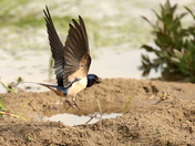 Swallows at Fen Farm yesterday.