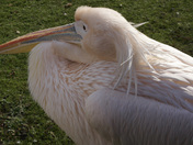 project 52 Pelican