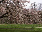 Proj3ect 52 Cherry tree