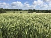 A very windy walk past the barley field