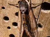 Pair of Privet Hawk Moths on Bug Box