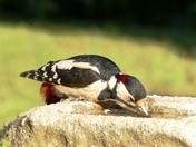 Great Spotted Woodpecker in the garden.