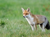 The handsome Mr.Fox.