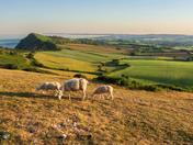 Sheep grazing on Peak Hill