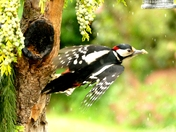 Great spotted woodpecker on the wing.