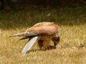 Sparrowhawk in my garden.