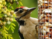Great spotted woodpecker juvenile on the peanut feeder.